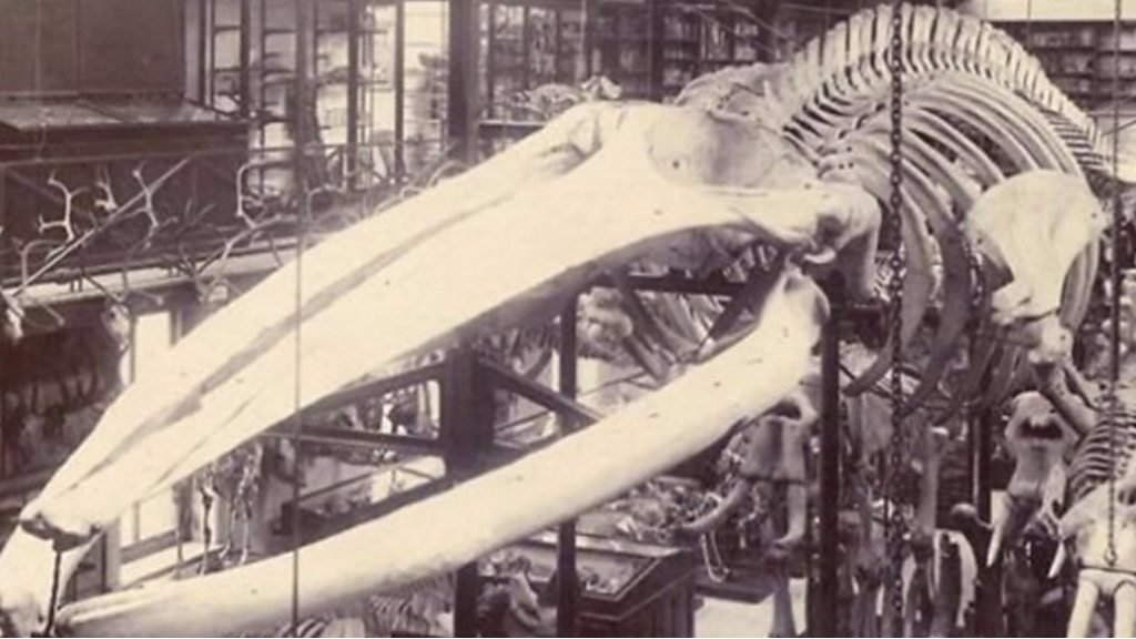 Whale skeleton open to public after going into hiding