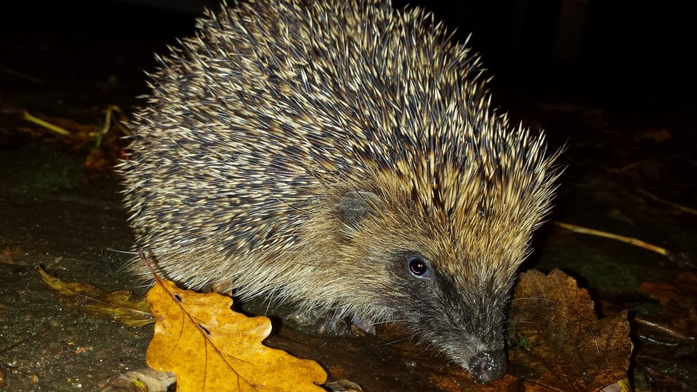 Hedgehog corridor stops approval of Peterborough 'illegal' wall