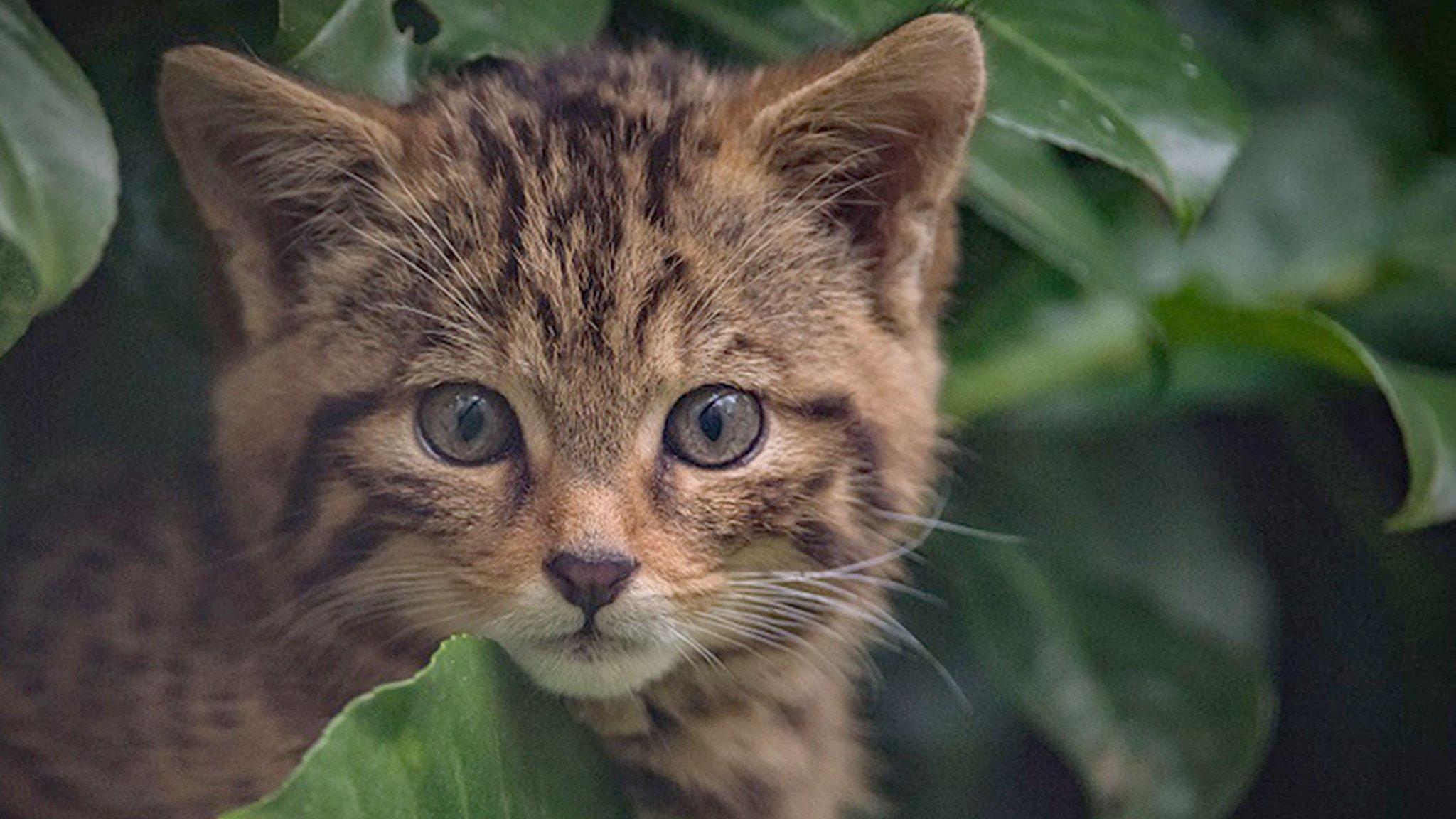 Baby Scottish Wildcat And The Uk S Other Rarest Animals Cbbc Newsround