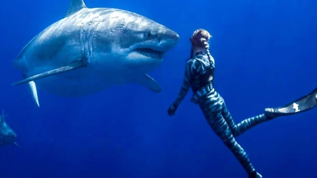 Swimming with huge female pregnant great white sharks