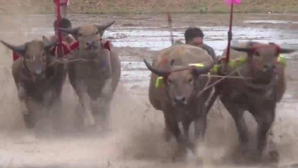 تھائی لینڈ میں بھینسوں کی روایتی دوڑ