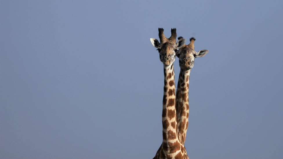 Giraffes stand side-by-side.