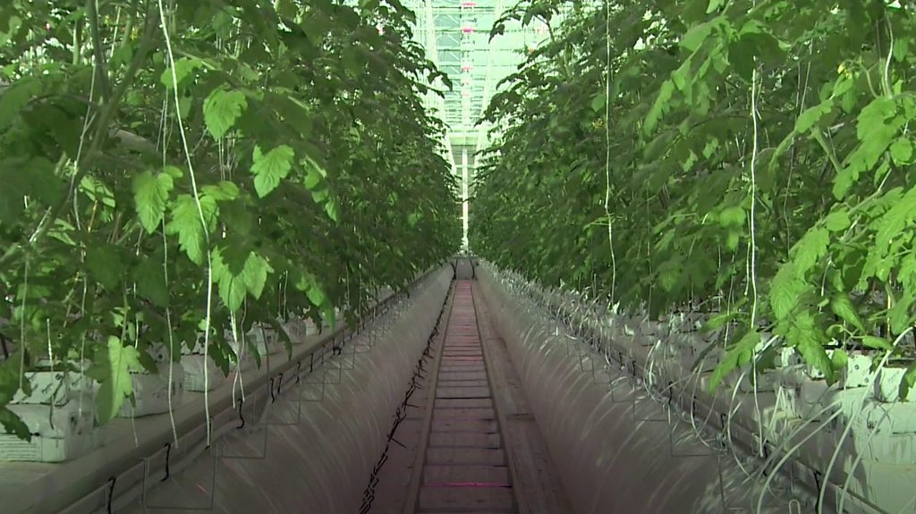 Giant hi-tech tomato glasshouse set to produce millions of the fruit