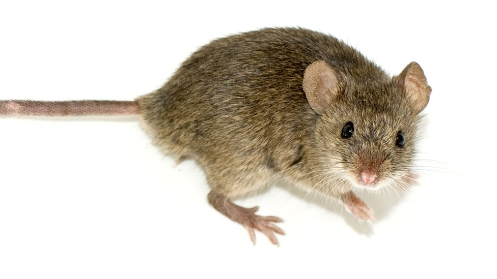 Global implications for NZ 'Million Dollar Mouse' success