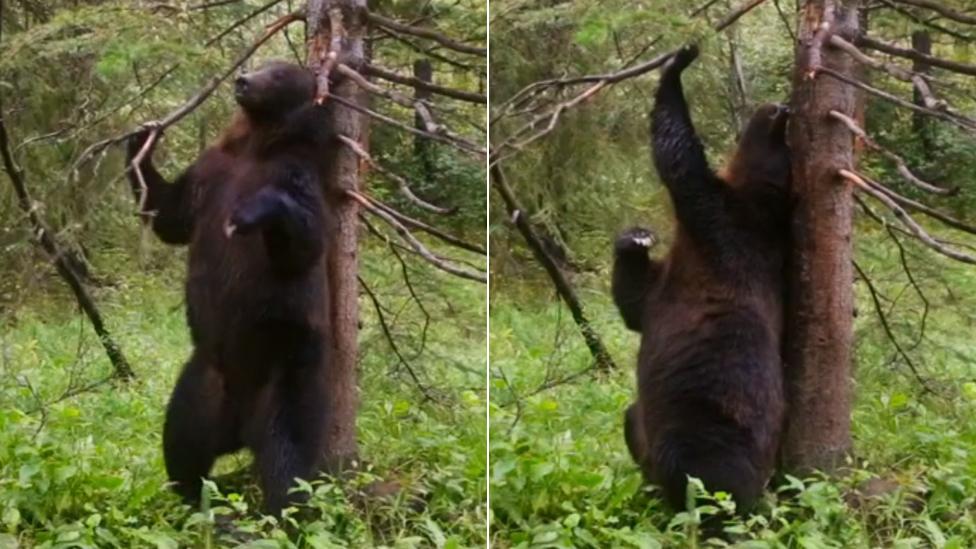Baile de osos