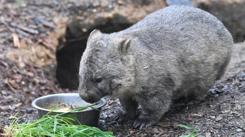 Wombat poop: Scientists reveal mystery behind cube-shaped droppings