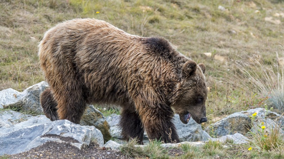 Spain alarmed by French bear's attacks on sheep