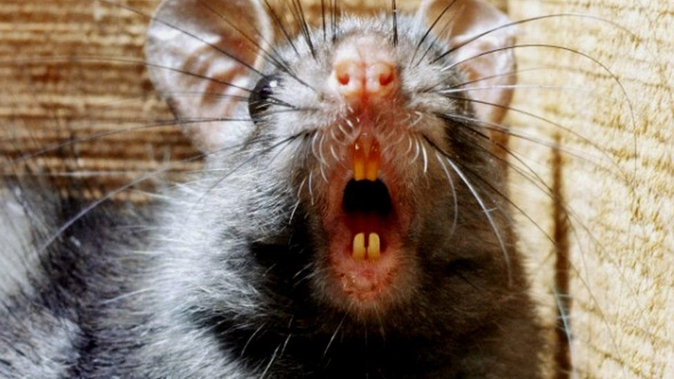 Чуму в Європі переносили люди, а не щурі – вчені