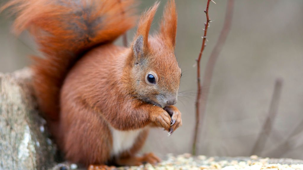 Maths helps fight to save red squirrels in southern Scotland