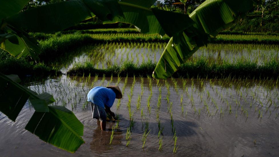 Plantación de arroz en Bali, Indonesia.