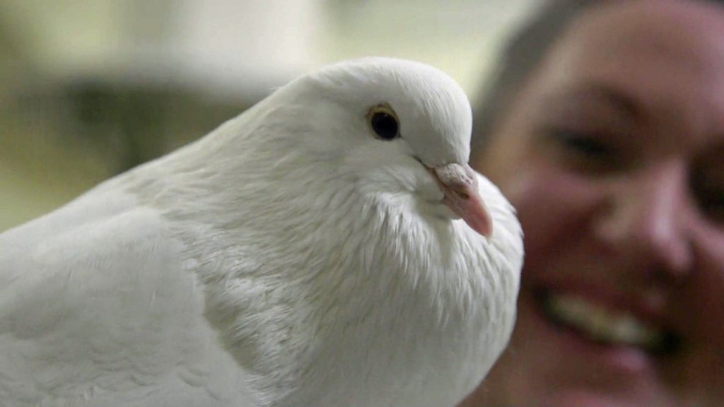 Not just 'winged rats': Inside the Crufts of the pigeon world