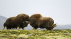 two muskox headbutting each other on the crest of a hill