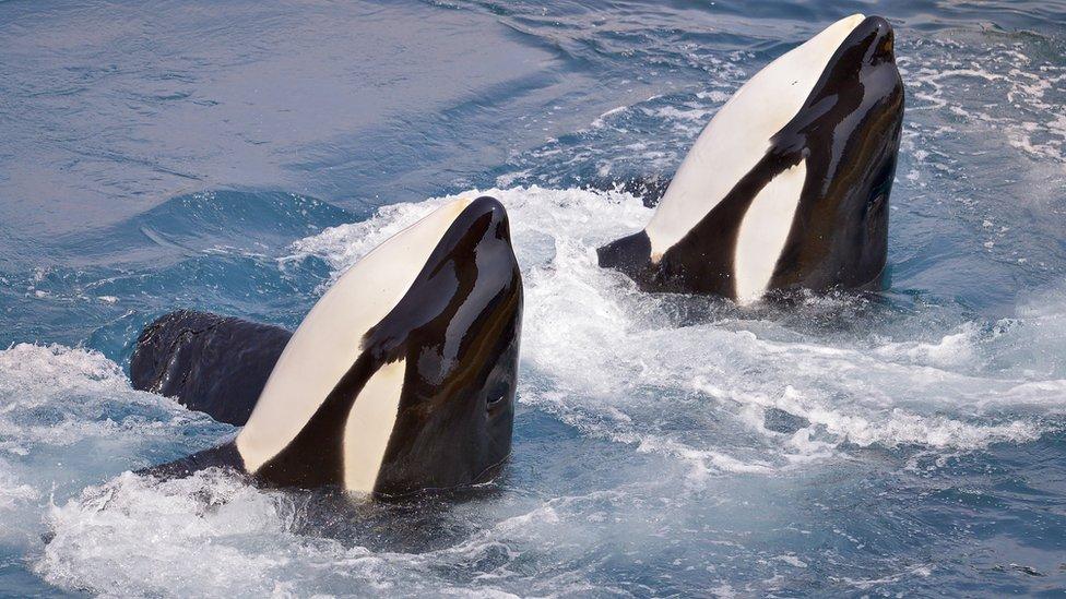 تعد الحيتان القاتلة أكبر أنواع الدلافين وواحد من المفترسات القوية في العالم