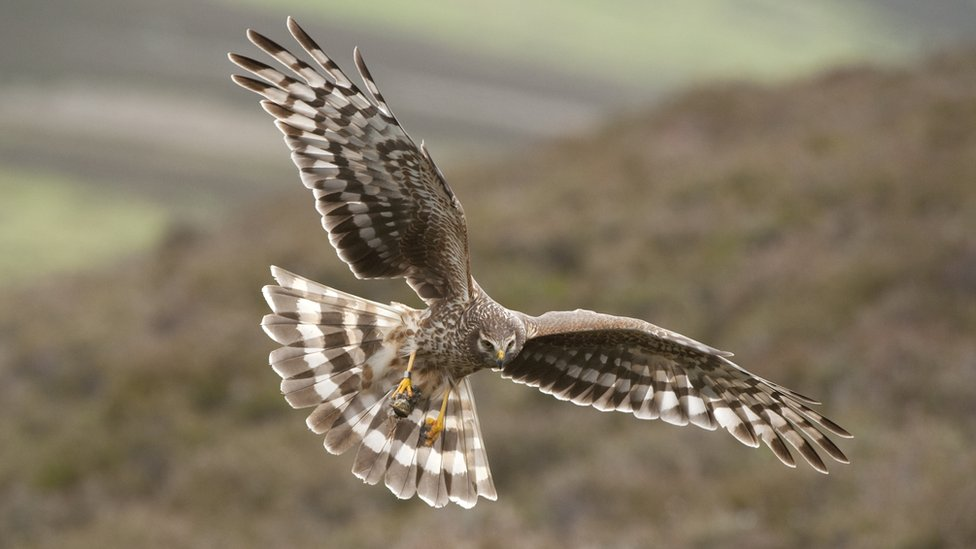 Hen harriers 'vanishing due to illegal killing' - study