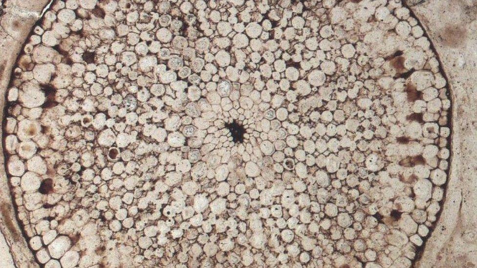 Un fósil de una planta