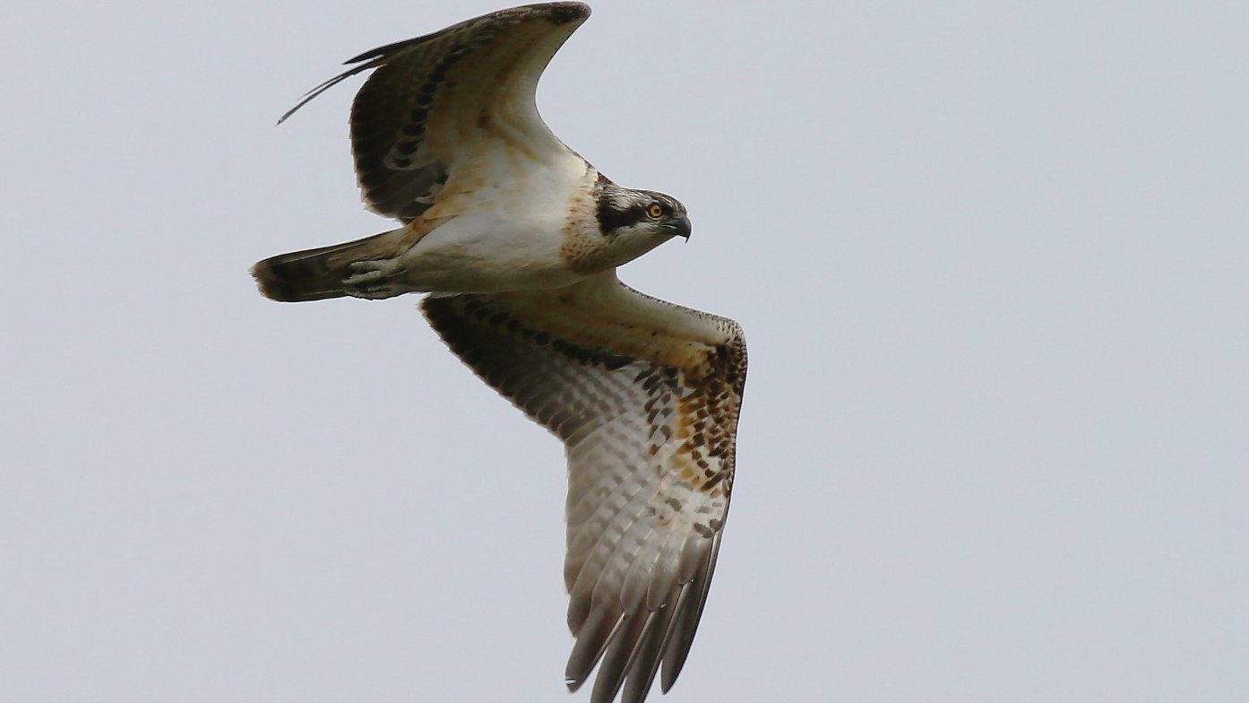 Poole Harbour osprey breeding project begins
