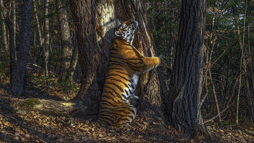 Fotógrafo De Vida Silvestre 2020 El Abrazo De Un Tigre A Un árbol Y Otras Imágenes Ganadoras Bbc News Mundo