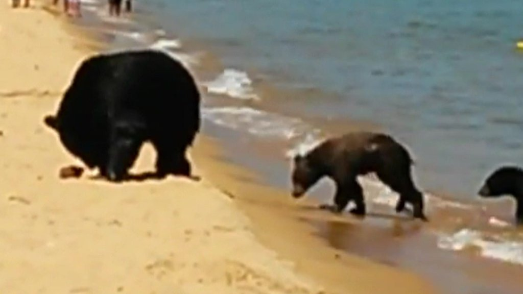 Bear family visits Lake Tahoe beach in California