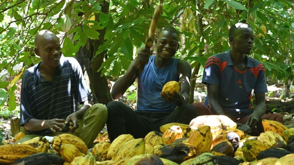 Cocoa farmers, one chopping a pod, in Ivory Coast - 2020