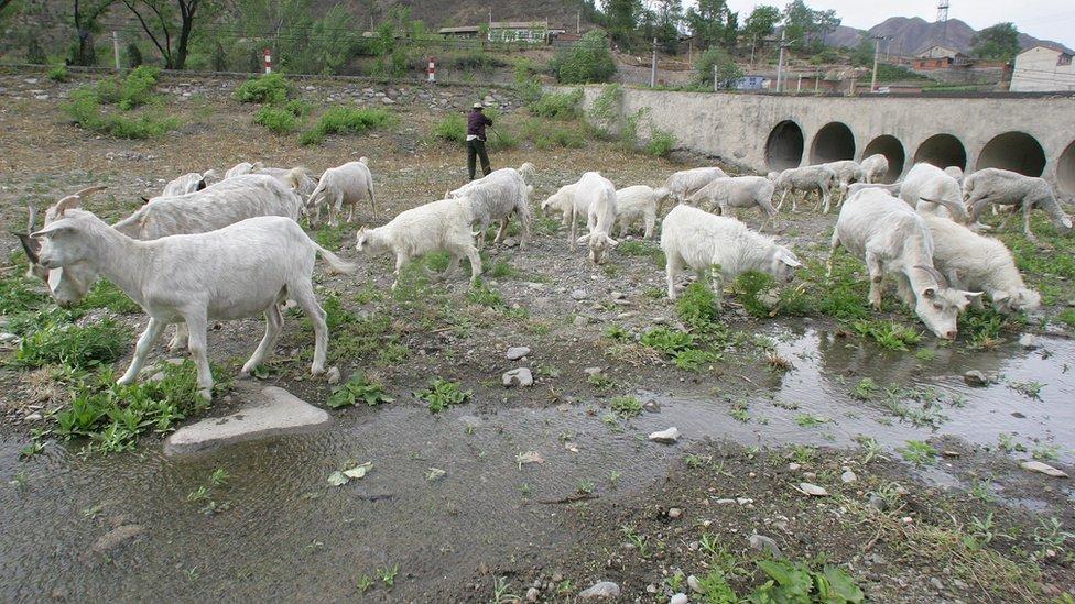 Cabras pastando en el lecho de un río seco