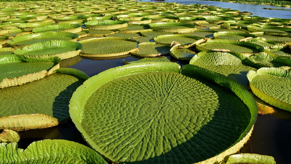 Paraguay lagoon sees giant lily pads return