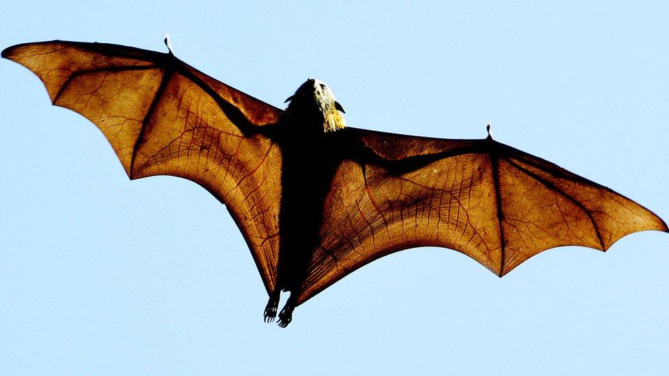 Los murciélagos regularmente se alimentan de frutos, pero en Brasil los científicos encontraron tres especies que se alimentan de sangre.
