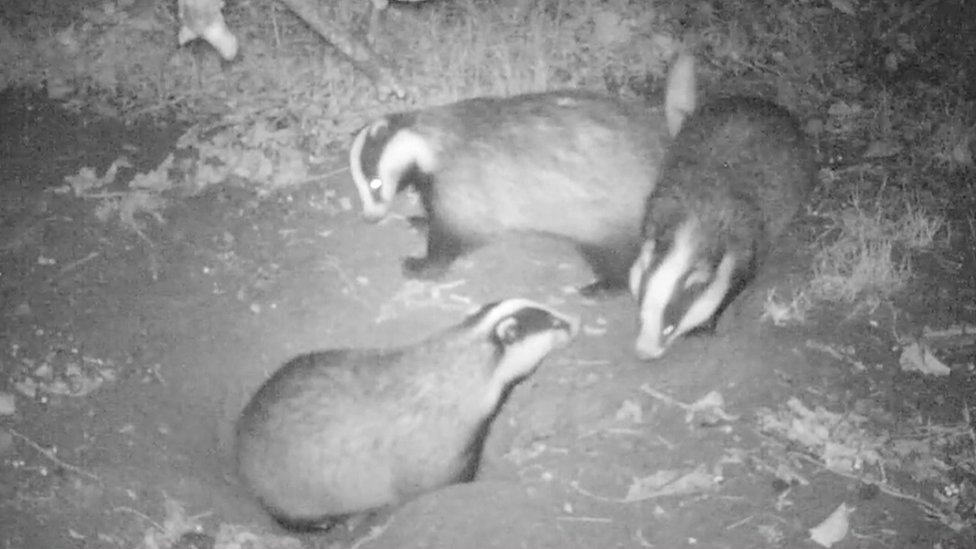 Undercover with badger baiters as network infiltrated
