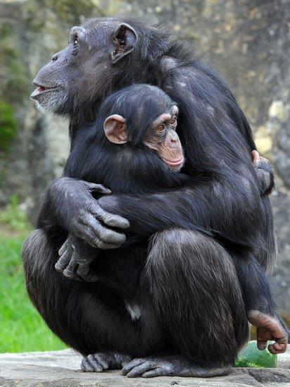 Chimpancé abraza a otro.