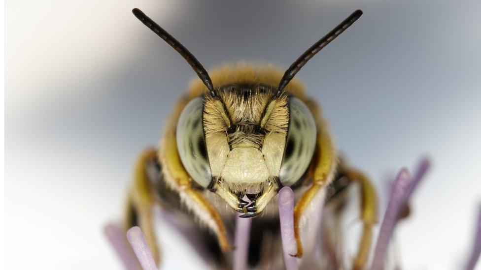 Aunque las abejas no son las únicas que lo hacen (las polillas, las hormigas, las aves y los murciélagos, entre otros, también brindan este servicio), representan el 90% de la polinización por un vector animal.