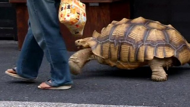 Tokyo Man And His Pet Giant Tortoise Are Internet Hit BBC News - Man walks pet tortoise through tokyo
