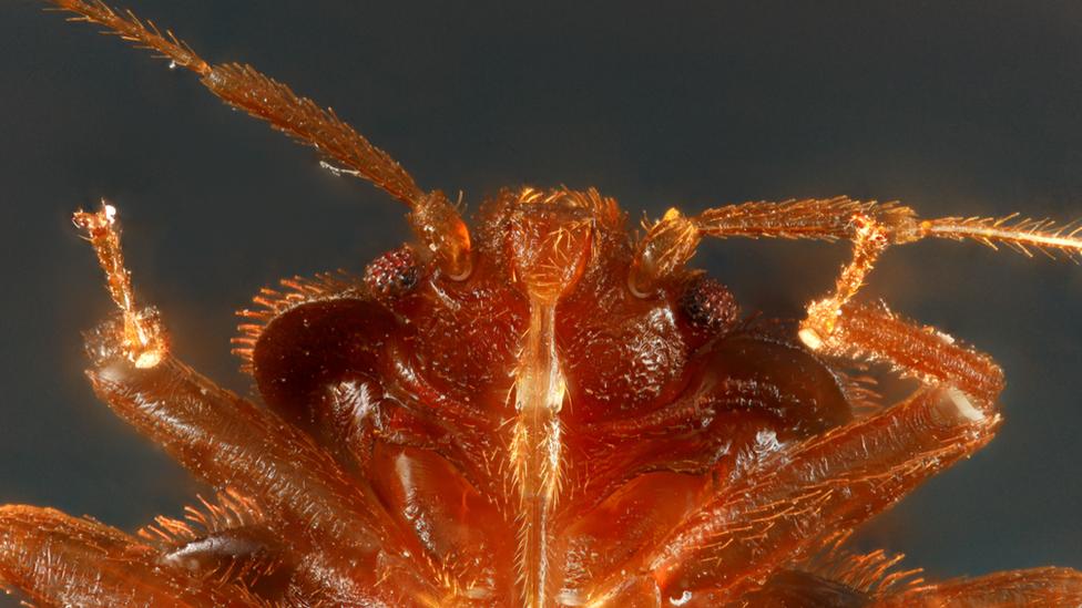 Bedbugs survived the dinosaur extinction event