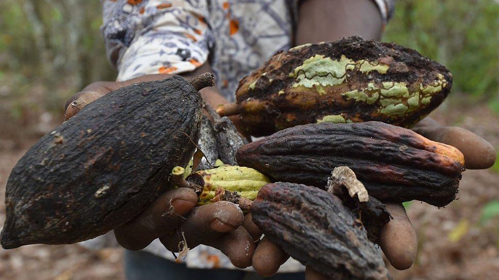 El cacao es muy vulnerable a los insectos y los parásitos.