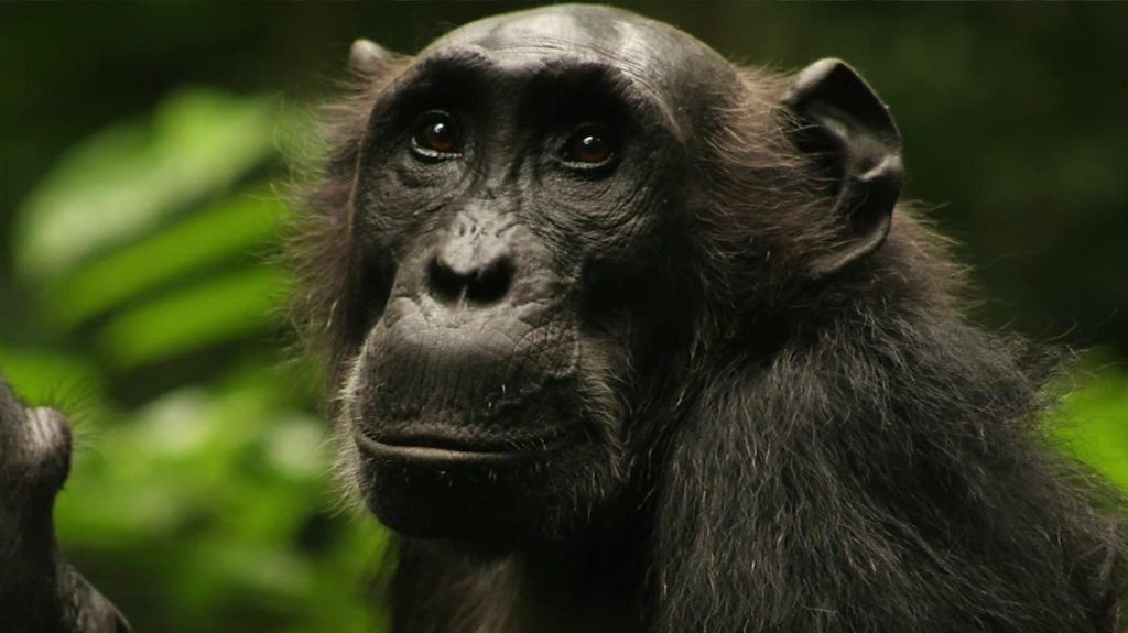 Scientists 'affecting chimps' by watching them