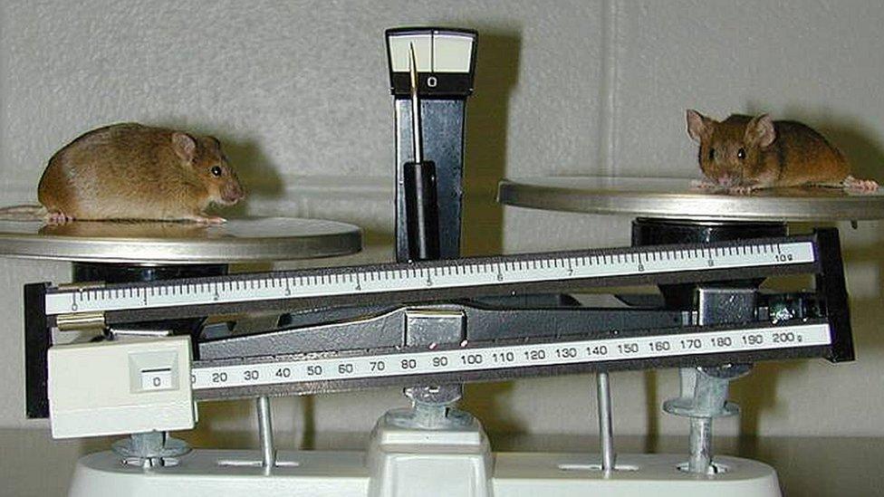 ratón knockout