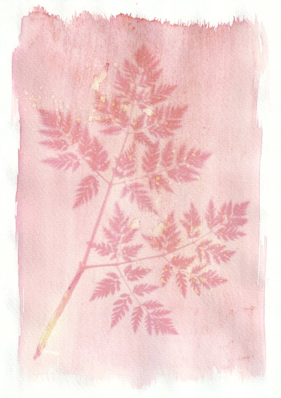 An anthotype print of a pink piece of foliage