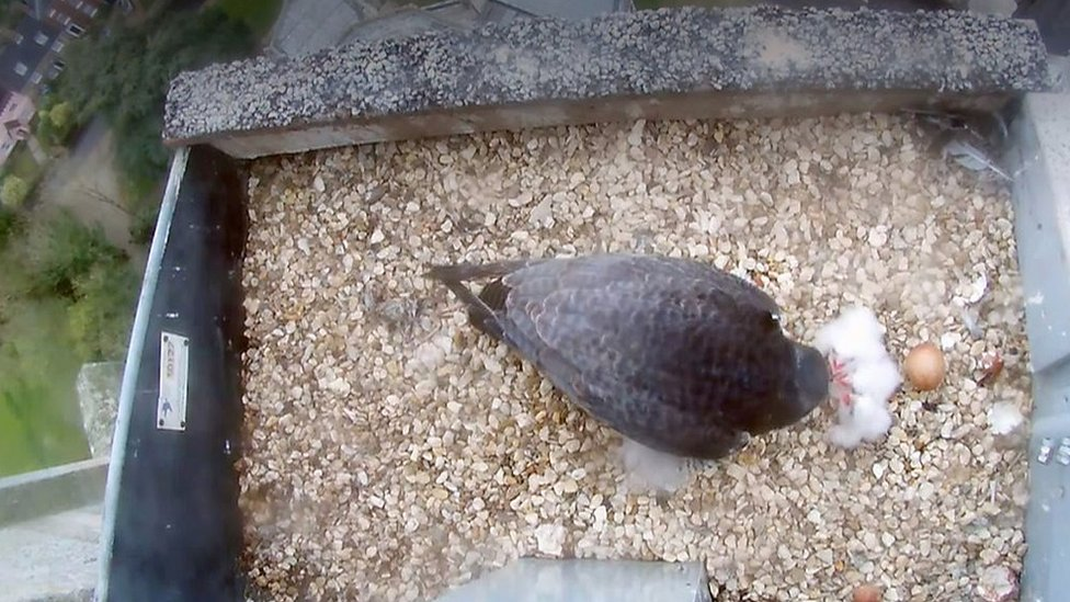 Norwich Cathedral peregrine falcons' chicks hatch