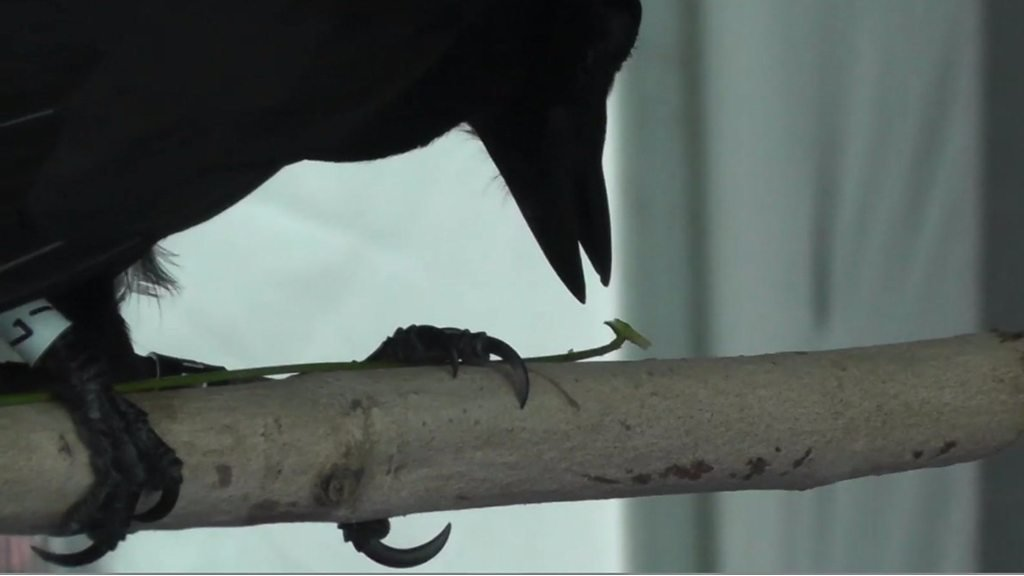 Crafty New Caledonian crows make hunting tools