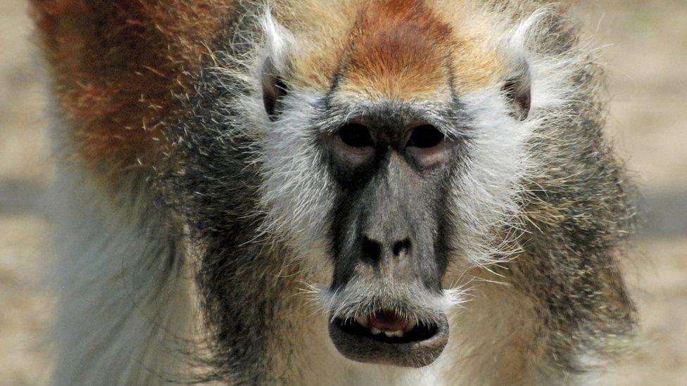 Мавп-вусанів виділили в окремий вид