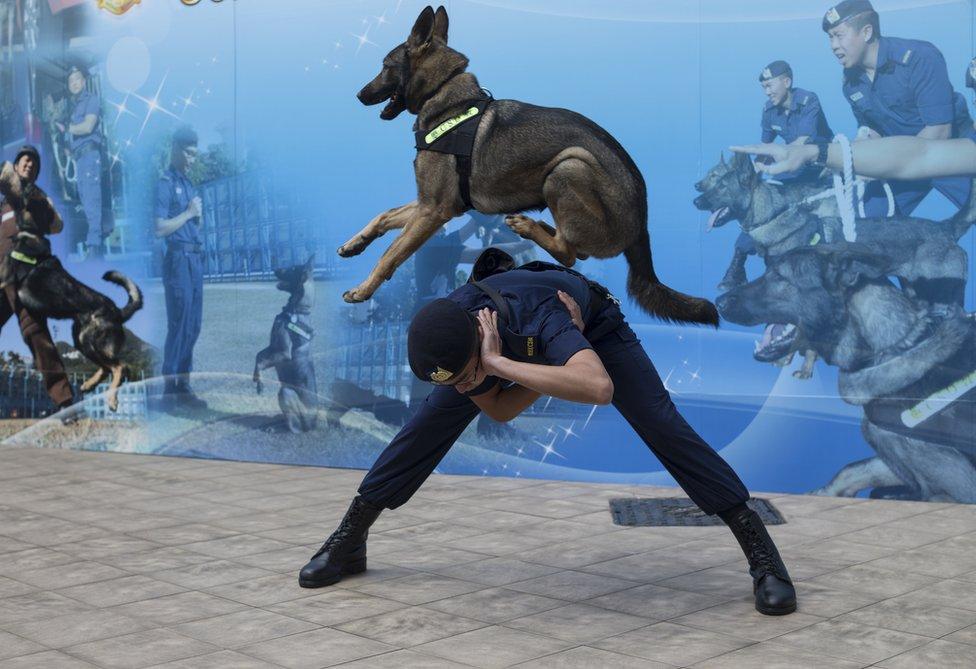 كلب يقفز فوق ظهر مدربه في هونغ كونغ بالصين كجزء من فعاليات التدريب لوحدة الكلاب البوليسية في السجون الصينية.