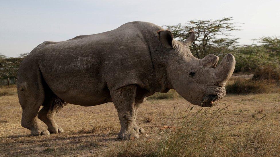 Sudán, el último rinoceronte blanco del norte macho.