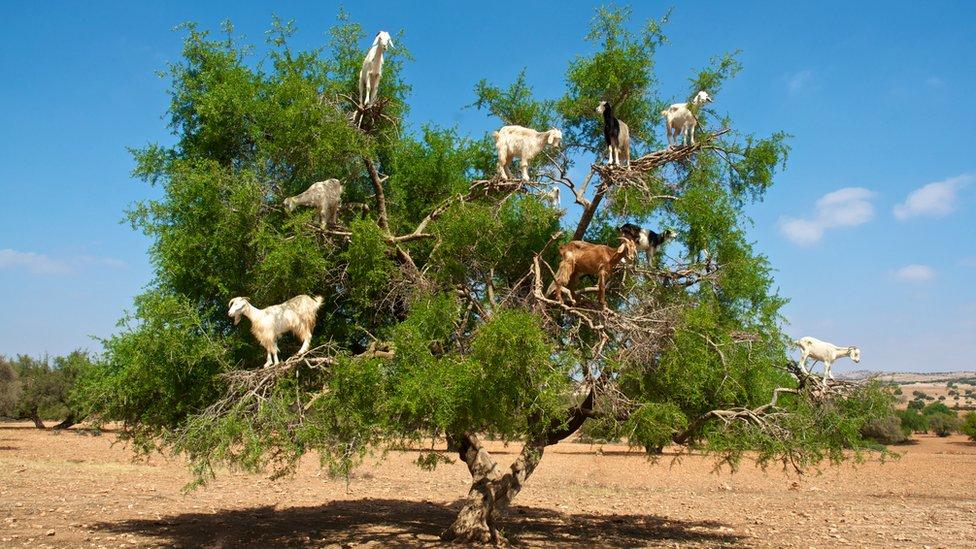 Por qu los rboles en Marruecos tienen cabras sobre sus ramas