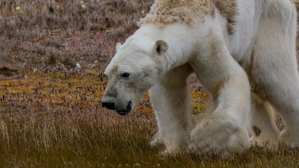 Polar bear video: Is it really the 'face of climate change'?