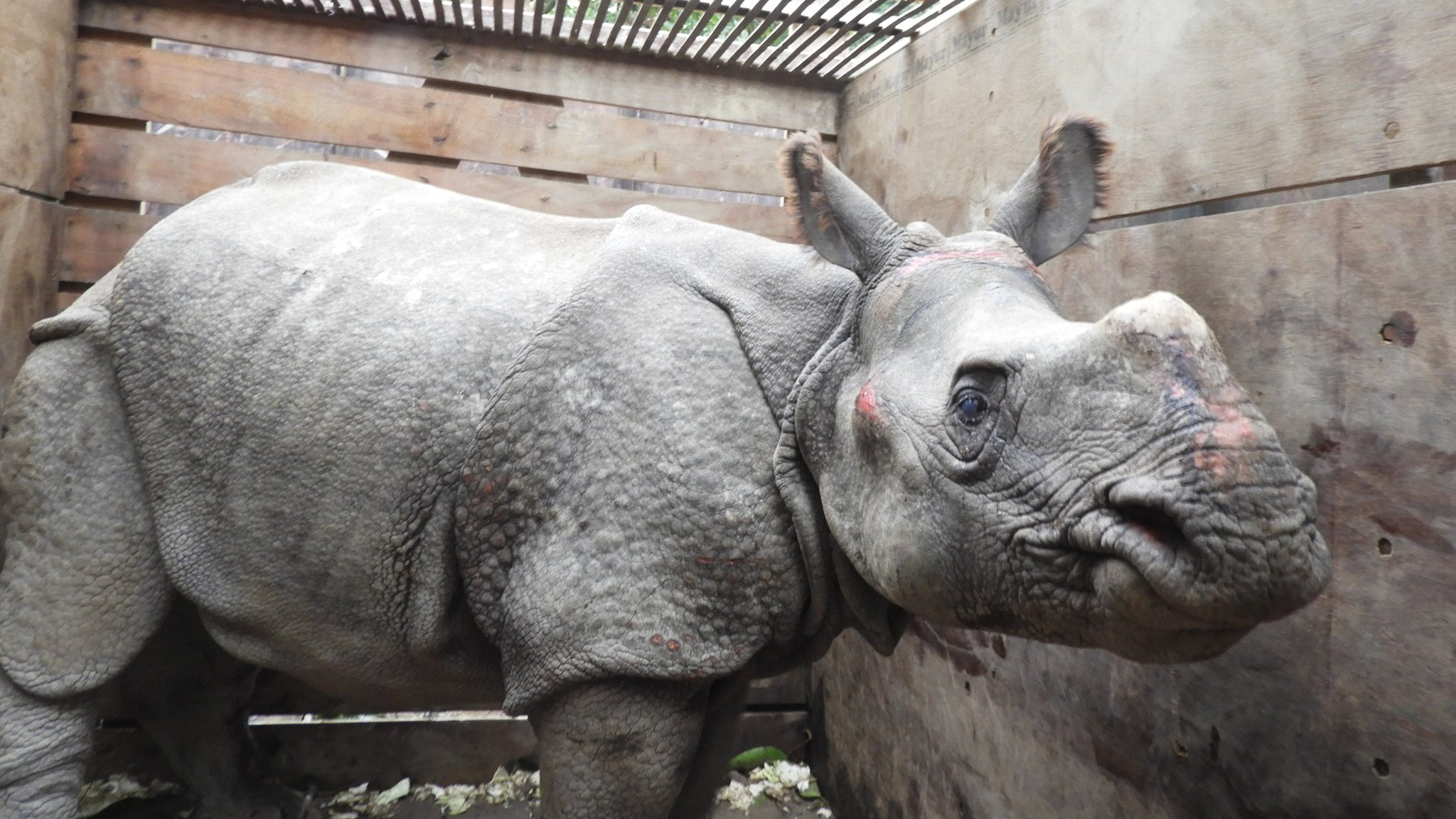 Rhino swept from Nepal to India by flooding rescued