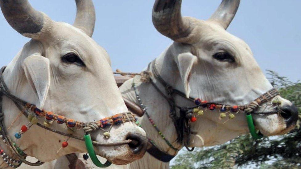 Buffalo beauty contest held in Pakistan