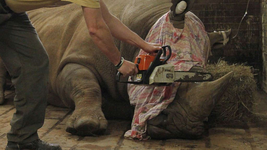 Why a Czech zoo is dehorning its white rhinos