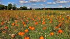 A field full of orange pumpkins on a bright but cloudy day