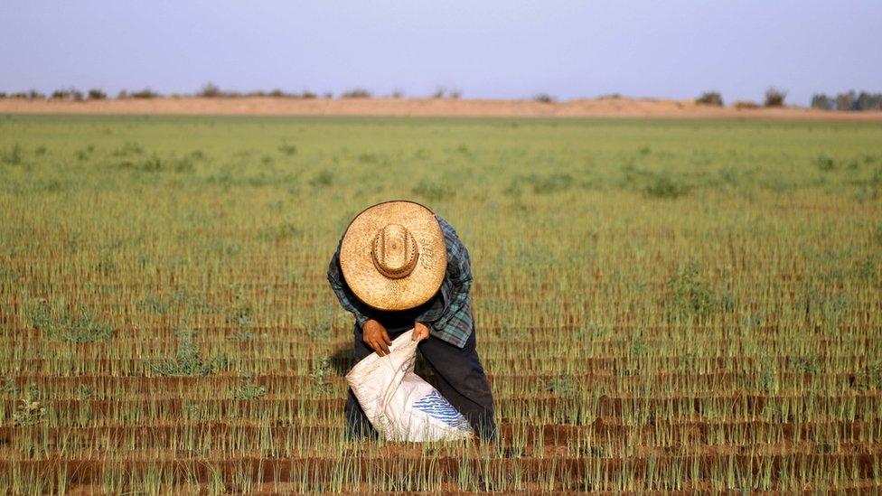 Inmigrante mexicano trabajando el campo en Estados Unidos