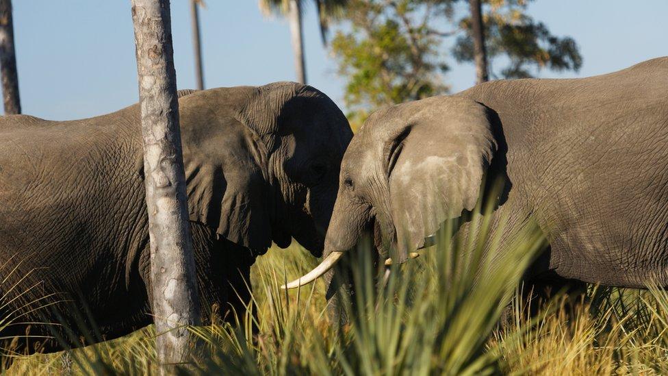 Botswana mulls lifting elephant hunting ban