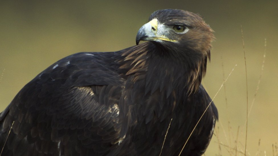 Wales: Plans for the golden eagle to return to Snowdonia - CBBC