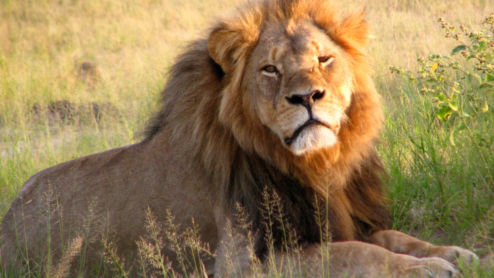 The US dentist who killed a lion in Zimbabwe should be extradited to face charges, the country's environment minister says.